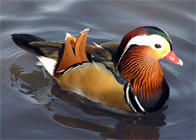 Madarin duck.