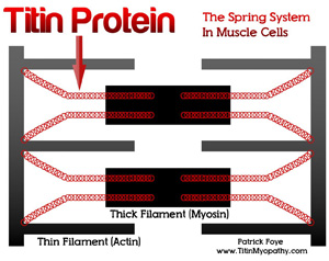 Image showing Titin Protein: the spring system in muscle cells