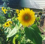 Sunflower grown by Beth