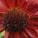 Sunflower grown in the UK