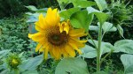 Sunflower grown in Germany