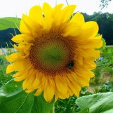 Sunflower grown for Emil in Germany.