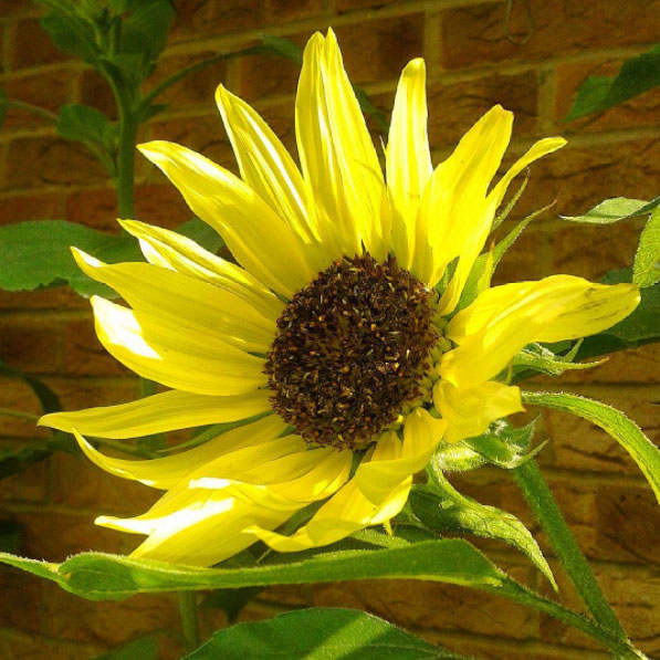 Sunflower grown in Newham