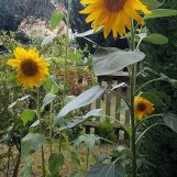 Sunflowers grown for Emil in London.