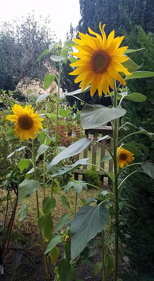 Sunflowers grown in London