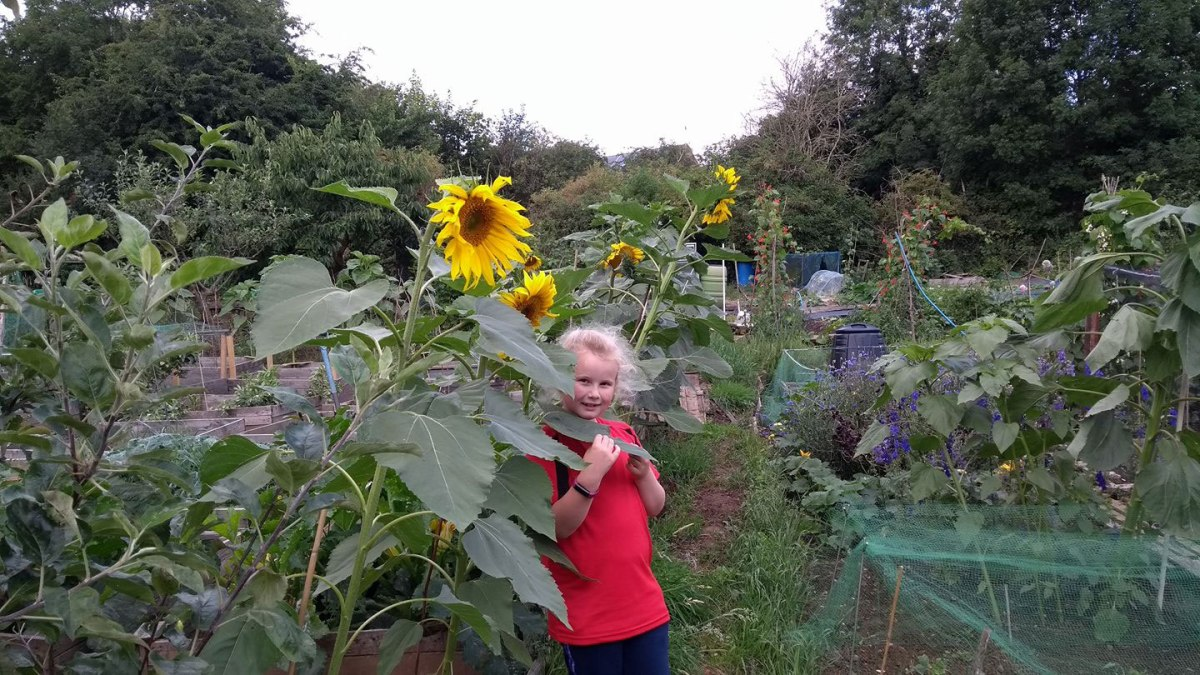 Sunflower grown by Mark