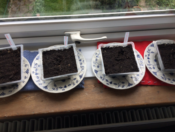 Newly planted sunflowers.