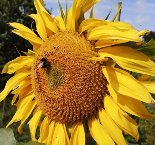 Sunflower grown in Leeds during The Big Sunflower Project 2019.
