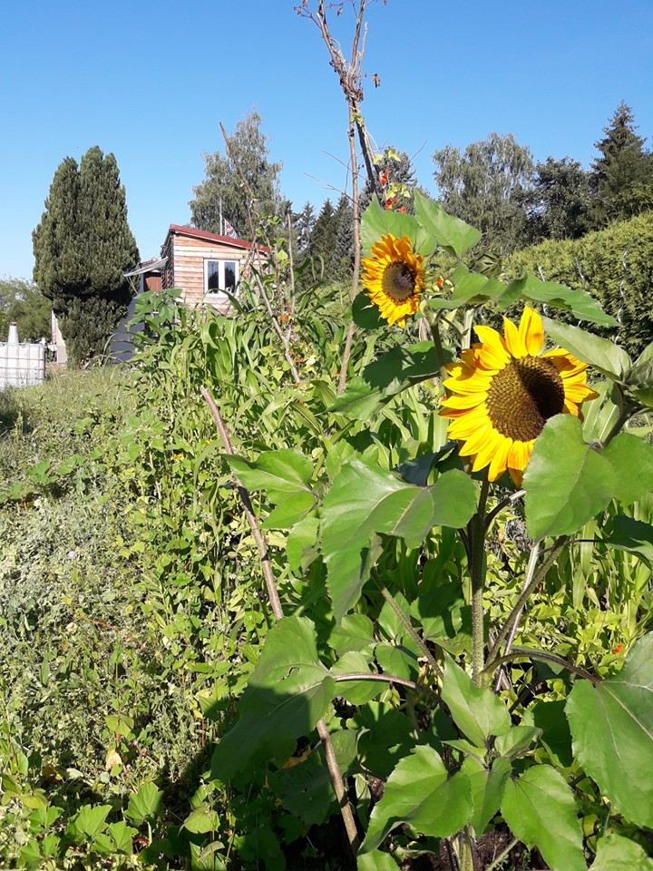 Sunflowers grown in Germany during The Big Sunflower Project 2019.