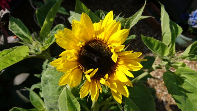 Sunflower grown in Chester during The Big Sunflower Project 2019.