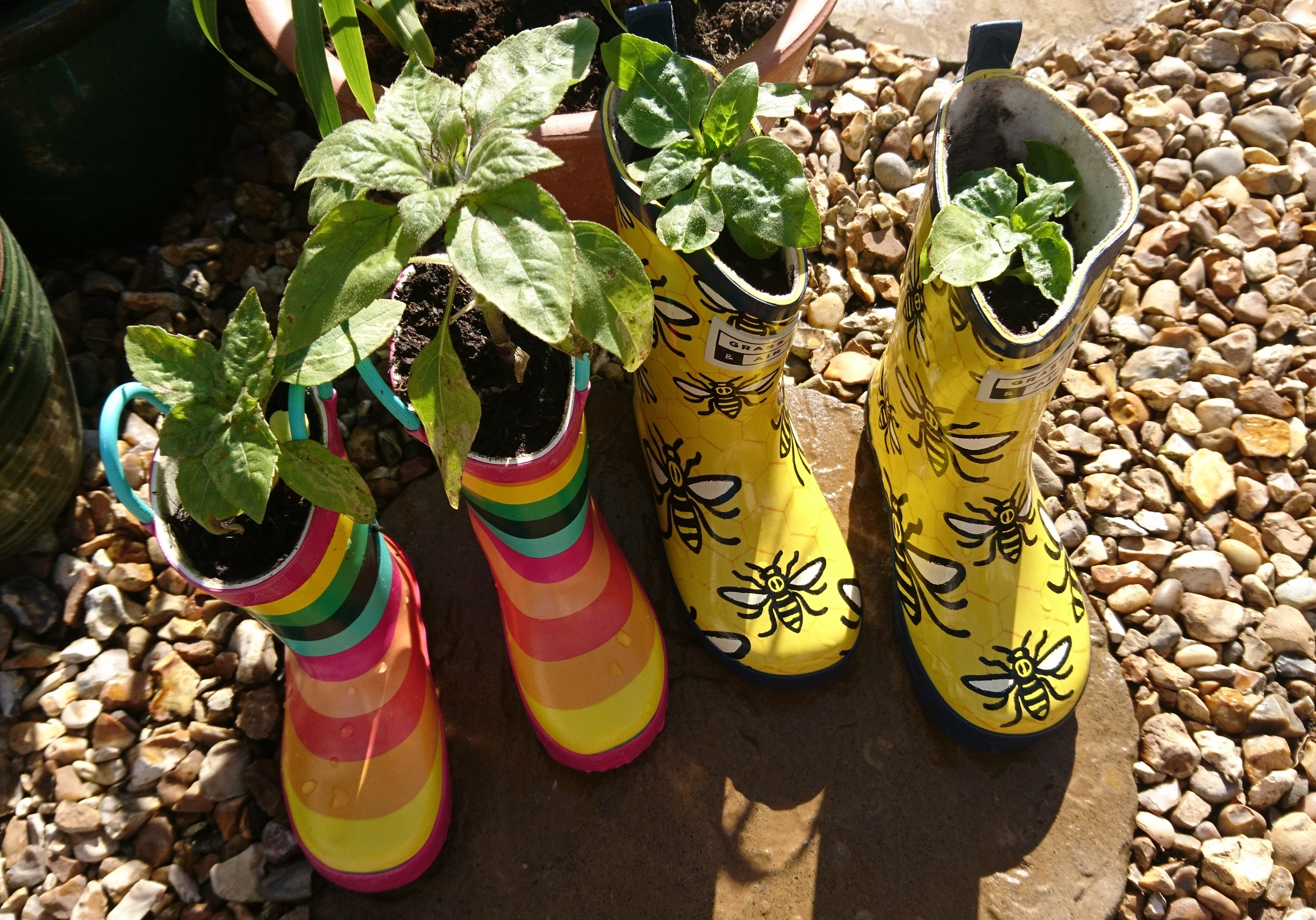 Dwarf sunflowers growing in wellington boots.